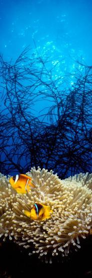 Mat Anemone and Allard's Anemonefish in the Ocean--Photographic Print