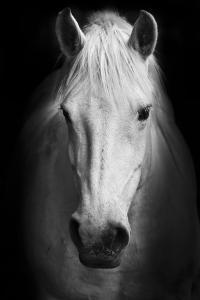 White Horse's Black and White Art Portrait. by Matej Kastelic