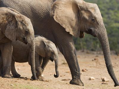 Maternal Group of Elephants, Eastern Cape, South Africa-Ann & Steve Toon-Photographic Print