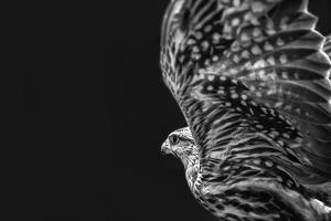 Captive HAWK by Matias Jason
