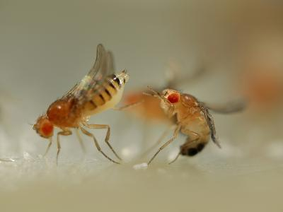 Mating Behavior of Fruit Flies (Drosophila Melanogaster) Showing Female Rejecting a Male-Solvin Zankl-Photographic Print