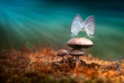 Mating Butterflies on Mushroom with Blue Background and Sunrays-Robby Fakhriannur-Photographic Print