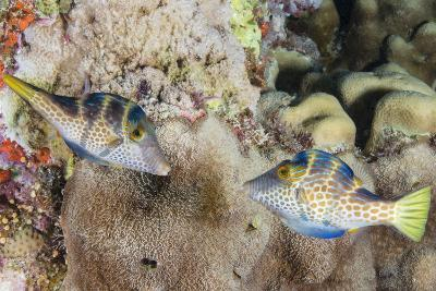 Mating Display by Pair of Wire-Net Filefish (Cantherhines Paradalis), Queensland, Australia-Louise Murray-Photographic Print