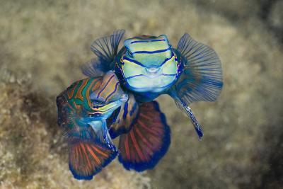 Mating Mandarinfish (Synchiropus Splendidus), Micronesia, Palau-Reinhard Dirscherl-Photographic Print