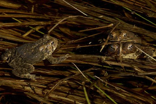 Mating toads and an observer.  Wyman Meadow at Walden Pond.-Tim Laman-Photographic Print