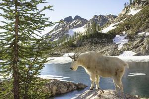Mountain Goat, at Wing Lake by Matt Freedman
