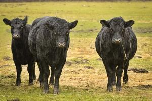 Skagit Valley, Washington State. Cows in the Rain by Matt Freedman