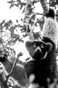 Inquisitive Indri by Matt Roseveare