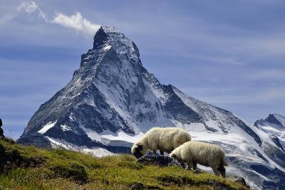 Matterhorn with Sheep from Hohbalmen-pierre hanquin photographie-Photographic Print