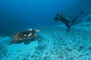 Hawksbill Turtle by Matthew Oldfield