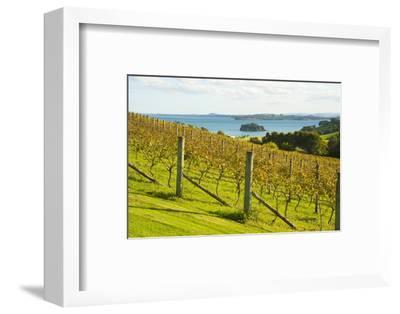 Autumn Vineyard on Waiheke Island, Auckland, North Island, New Zealand, Pacific