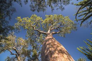 Baobab Tree in Spiny Forest, Parc Mosa a Mangily, Ifaty, South West Madagascar, Africa by Matthew Williams-Ellis