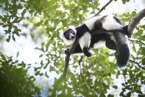 Black and White Ruffed Lemur (Varecia Variegata), Endemic to Madagascar, Seen on Lemur Island by Matthew Williams-Ellis