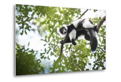 Black and White Ruffed Lemur (Varecia Variegata), Endemic to Madagascar, Seen on Lemur Island
