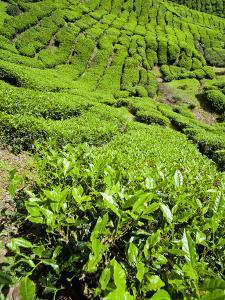 Boh Tea Plantation, Cameron Highlands, Malaysia, Southeast Asia, Asia by Matthew Williams-Ellis