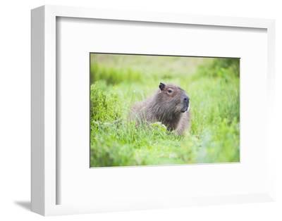 Capybara (Hydrochoerus Hydrochaeris), a Marshland Area in Corrientes Province, Argentina