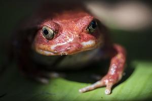 Close-Up of a Madagascar Tomato Frog (Dyscophus Antongilii), Endemic to Madagascar, Africa by Matthew Williams-Ellis