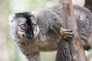 Common Brown Lemur (Eulemur Fulvus), Lemur Island, Andasibe National Park, Madagascar, Africa by Matthew Williams-Ellis