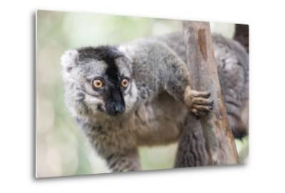 Common Brown Lemur (Eulemur Fulvus), Lemur Island, Andasibe National Park, Madagascar, Africa
