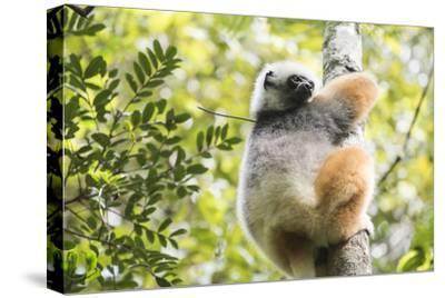 Diademed Sifaka (Propithecus Diadema), a Large Lemur in Perinet Reserve