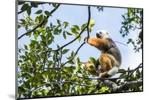 Diademed Sifaka (Propithecus Diadema), a Large Lemur in Perinet Reserve by Matthew Williams-Ellis