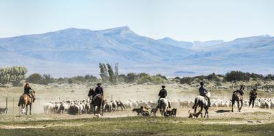 Gauchos Riding Horses to Round Up Sheep, El Chalten, Patagonia, Argentina, South America by Matthew Williams-Ellis