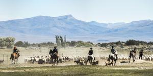 Gauchos Riding Horses to Round Up Sheep, El Chalten, Patagonia, Argentina, South America by Matthew Williams-Ellis