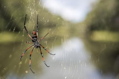 Golden Silk Orb Weaver Spider (Nephila) on its Web, Perinet Reserve