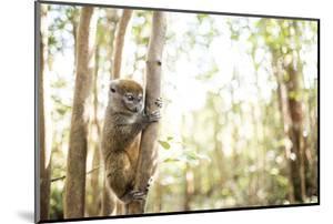 Grey Bamboo Lemur (Hapalemur), Lemur Island, Andasibe, Eastern Madagascar, Africa by Matthew Williams-Ellis