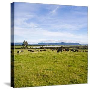 Herd of Cows on Farmland on the West Coast, South Island, New Zealand, Pacific by Matthew Williams-Ellis