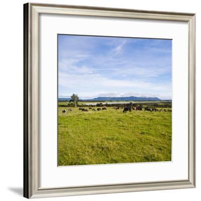 Herd of Cows on Farmland on the West Coast, South Island, New Zealand, Pacific