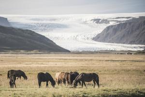 Icelandic Horses with a Glacier Running Down from the Vatnajokull Ice Cap Behind, Polar Regions by Matthew Williams-Ellis