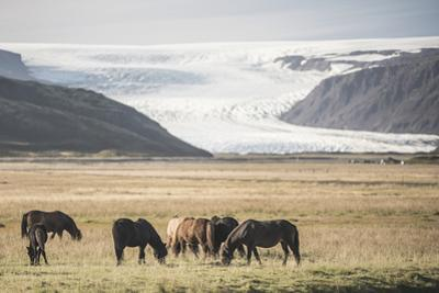 Icelandic Horses with a Glacier Running Down from the Vatnajokull Ice Cap Behind, Polar Regions by Matthew Williams-Ellis