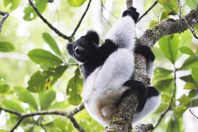 Indri (Babakoto) (Indri Indri), a Large Lemur in Perinet Reserve, Andasibe-Mantadia National Park