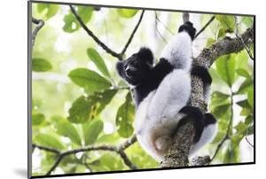 Indri (Babakoto) (Indri Indri), a Large Lemur in Perinet Reserve, Andasibe-Mantadia National Park by Matthew Williams-Ellis