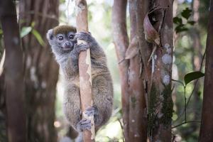Lac Alaotra Bamboo Lemur (Hapalemur Alaotrensis), Lemur Island, Andasibe by Matthew Williams-Ellis