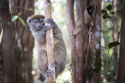 Lac Alaotra Bamboo Lemur (Hapalemur Alaotrensis), Lemur Island, Andasibe
