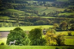 Lamb in Spring, Winchcombe, the Cotswolds, Gloucestershire, England, United Kingdom, Europe by Matthew Williams-Ellis