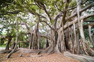 Large Twisted Roots of a Moreton Bay Fig Tree (Banyan Tree) (Ficus Macrophylla) by Matthew Williams-Ellis
