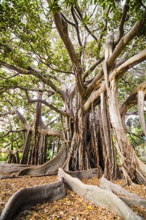 Large Twisted Roots of a Moreton Bay Fig Tree (Banyan Tree) (Ficus Macrophylla)