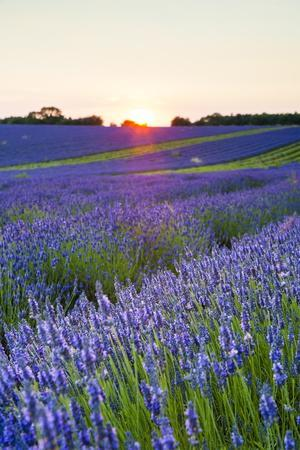 Lavender Field at Snowshill Lavender, the Cotswolds, Gloucestershire, England