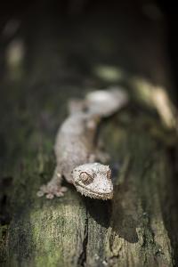 Leaf-Tailed Gecko (Baweng Satanic Leaf Gecko) (Uroplatus Phantasticus), Endemic to Madagascar by Matthew Williams-Ellis