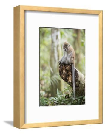 Long Tailed Macaque (Macaca Fascicularis) in the Jungle at Bukit Lawang