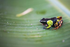 Mantella Baroni, a Frog Endemic to Madagascar, Africa by Matthew Williams-Ellis