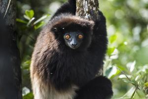 Milne-Edwards Sifaka (Propithecus Edwardsi), Ranomafana National Park, Madagascar Central Highlands by Matthew Williams-Ellis
