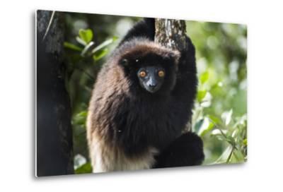 Milne-Edwards Sifaka (Propithecus Edwardsi), Ranomafana National Park, Madagascar Central Highlands