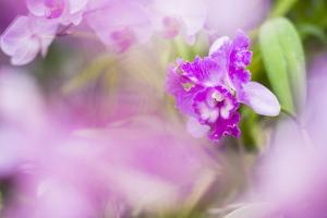 Orchids in the Orchid House, Kandy Royal Botanical Gardens, Peradeniya, Kandy, Sri Lanka, Asia by Matthew Williams-Ellis