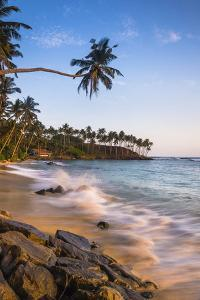 Palm Tree, Mirissa Beach, South Coast of Sri Lanka, Sri Lanka, Asia by Matthew Williams-Ellis
