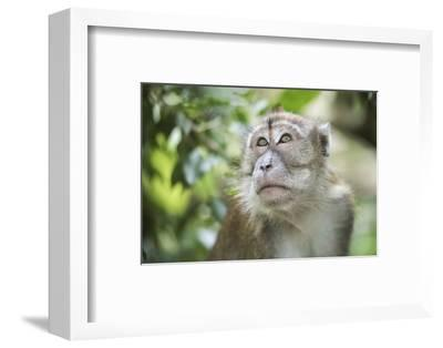 Portrait of a Long Tailed Macaque (Macaca Fascicularis) in the Jungle at Bukit Lawang