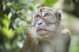Portrait of a Long Tailed Macaque (Macaca Fascicularis) in the Jungle at Bukit Lawang by Matthew Williams-Ellis